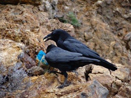 Scavenging ravens