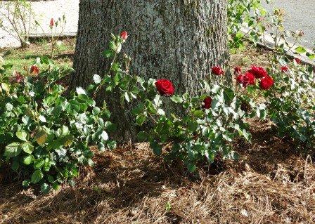 Jules J Berta Winery Roses