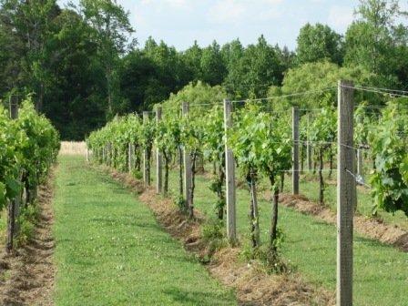 Jules J Berta Winery Vines