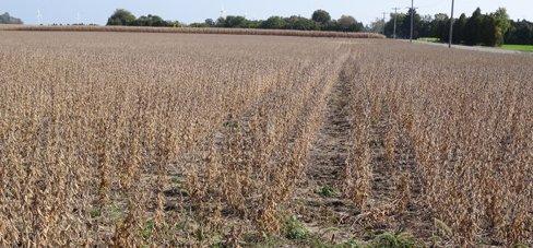 Soybean Harvest Time in Southwestern Ontario